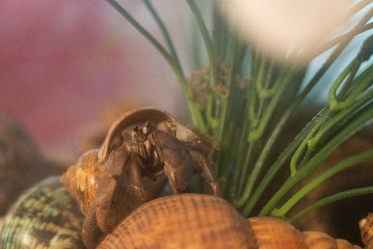 A hermit crab stands next to tall grass.