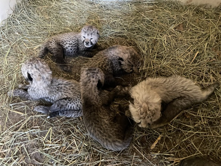 Wildlife Safari staff report that cheetah mother Jezebel has accepted her 2-week-old male foster cub, who arrived Oct. 3 from SCBI. (Amanda Collins/Wildlife Safari)
