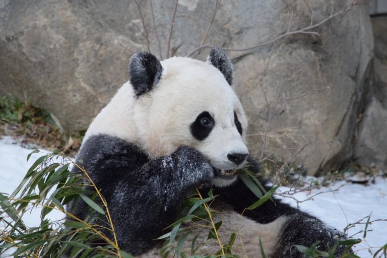 Bao Bao munching on bamboo in the snow