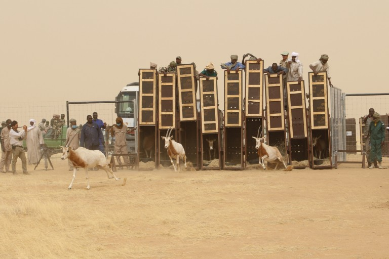 Photo of scimitar-horned oryx being reintroduced to the wild.