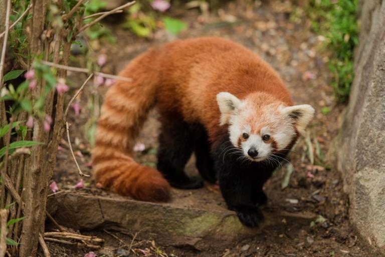 reddish-brown medium-sized furry mammal