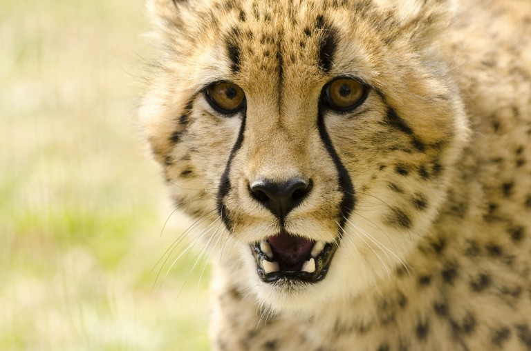 cheetah snarling