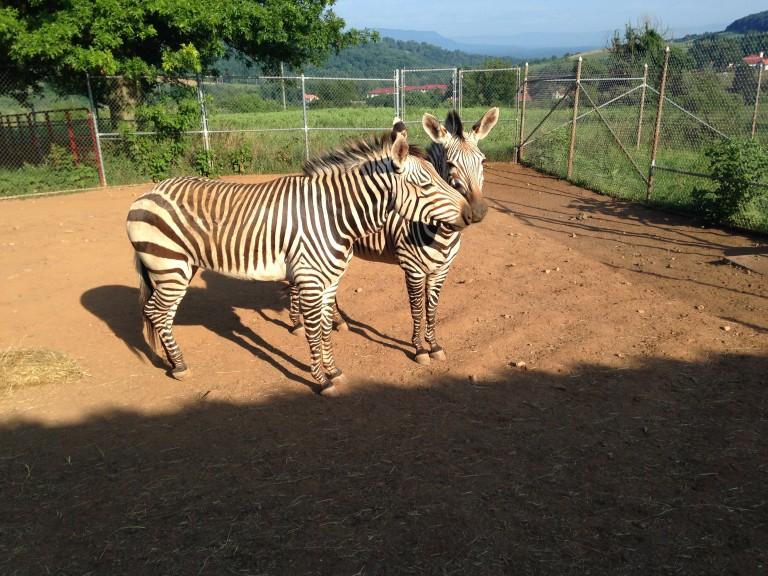 Hartmann's mountain zebras in a corral