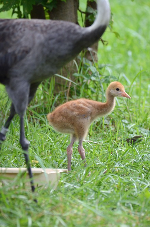 Hooded crane chick in the grass with mom