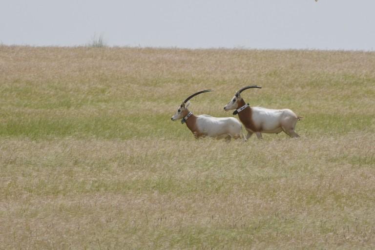 oryx running in the wild