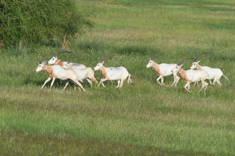 a herd of oryx with collars running in the wild