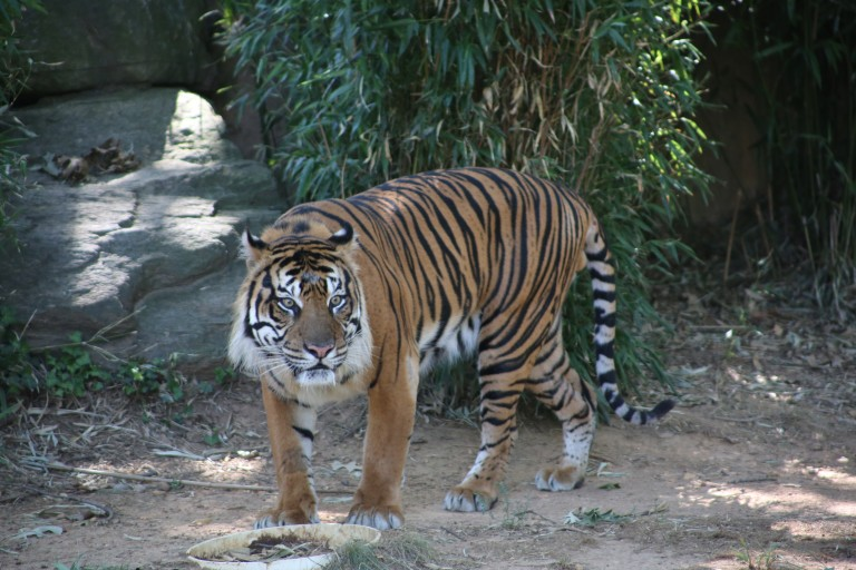 Sparky the tiger in his yard