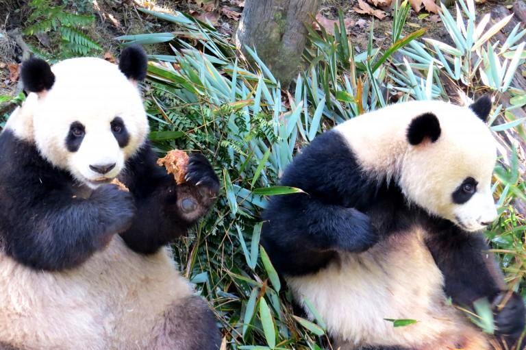 Giant pandas at the Chengdu Research Base