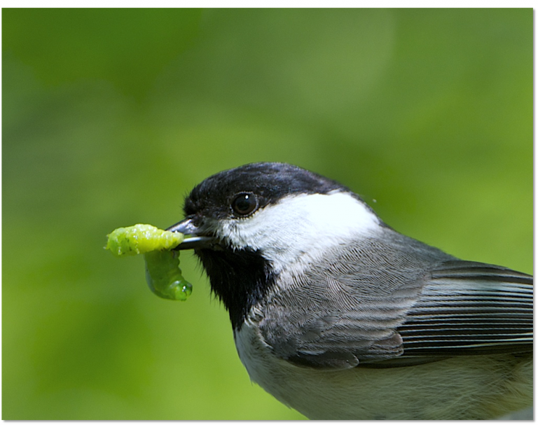 A small bird with black, white and gray feathers, called a Carolina chickadee, holds a green caterpillar in its beak