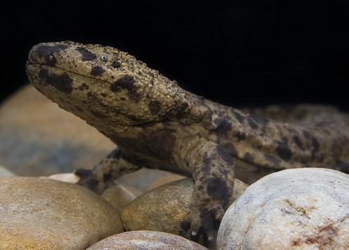 large salamander