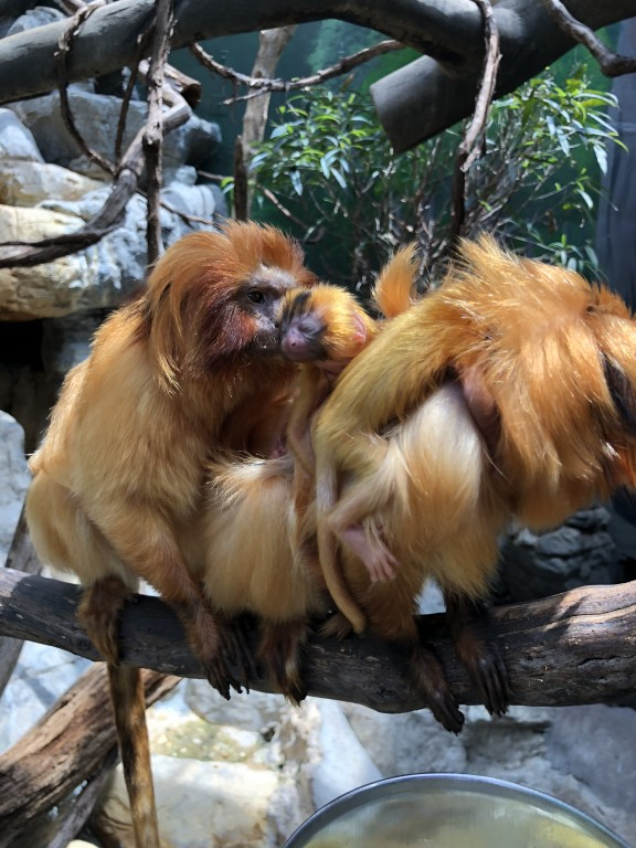 Golden lion tamarins Izzy and Mo with their two infants.