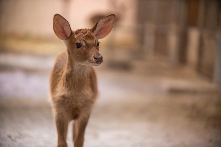 Eld's deer Rhudy was born at SCBI in fall 2019.