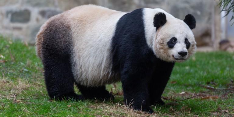 Female giant panda Mei Xiang surveys her yard at the David M. Rubenstein Family Giant Panda Habitat.