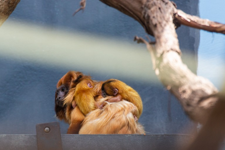 Izzy, a female golden lion tamarin with her two infants on her back.