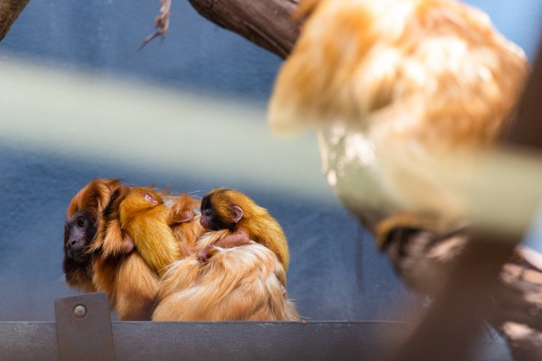 Izzy, a female golden lion tamarin with her two infants on her back