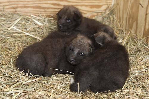 four dark pups resting on straw
