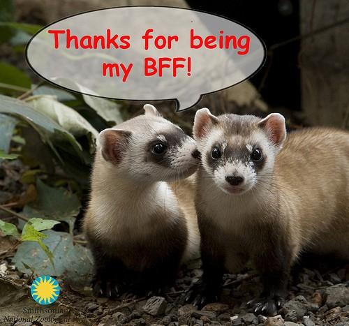 ferret whispering in another ferret's ear