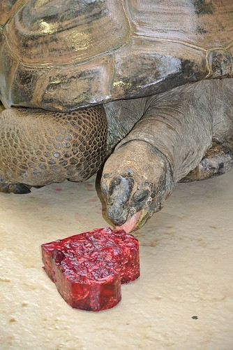 tortoise eating heart-shaped food
