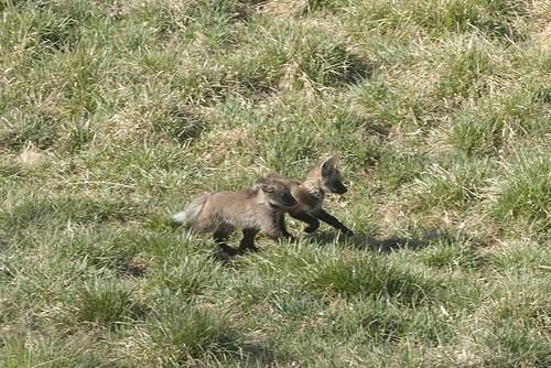 wolf cubs running
