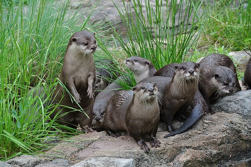 several otters