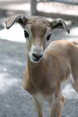 young gazelle standing
