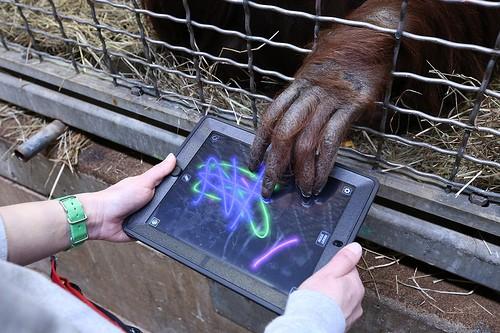 Orangutan touching an ipad