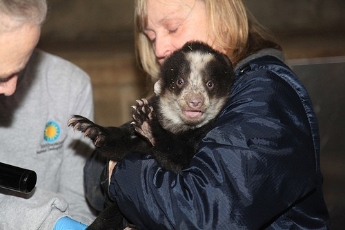 black and white bear cub being examined