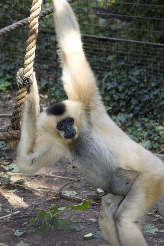 long-armed gibbon pulling rope