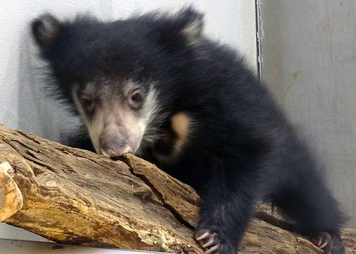 bear cub climbing branch