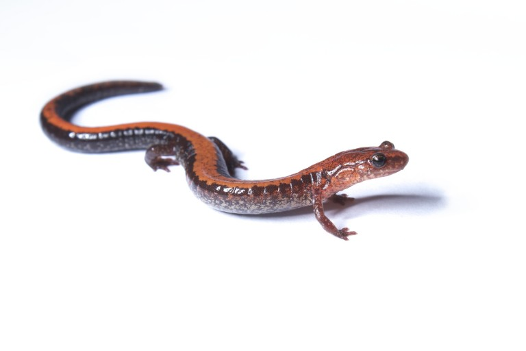 Eastern red-backed salamander