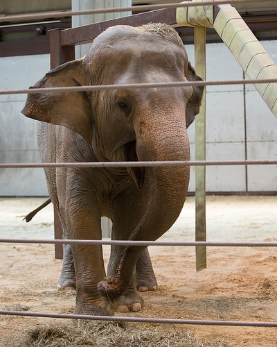 Asian Elephant Bozie Debuts at the Smithsonian's National Zoo