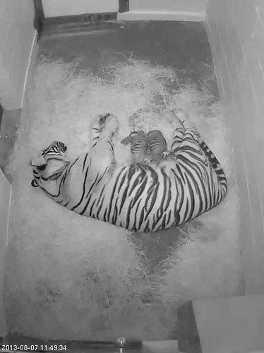 cubs with mom resting