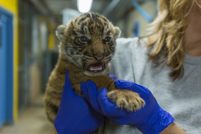 Sumatran tiger cub born July 11