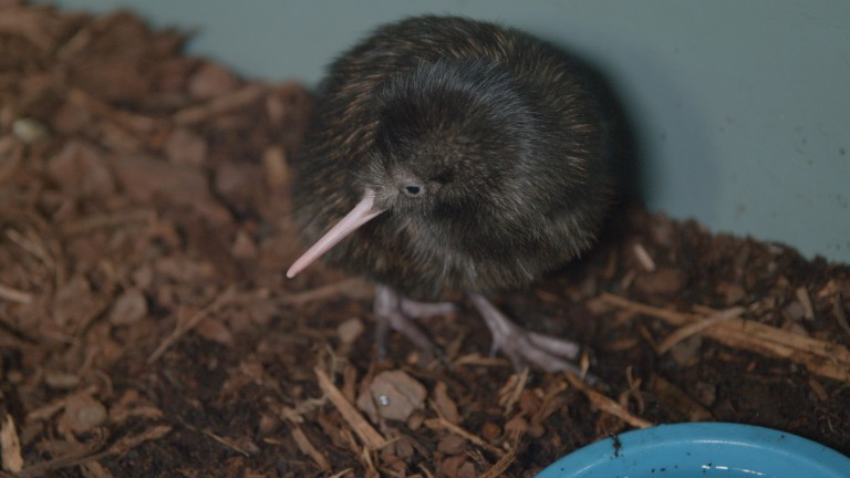 A brown kiwi chick, a flightless bird native to New Zealand, at the Smithsonian Conservation Biology Institute