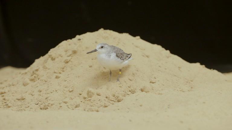 """Sanderling """"Aldrin"""" atop a pile of sand."""