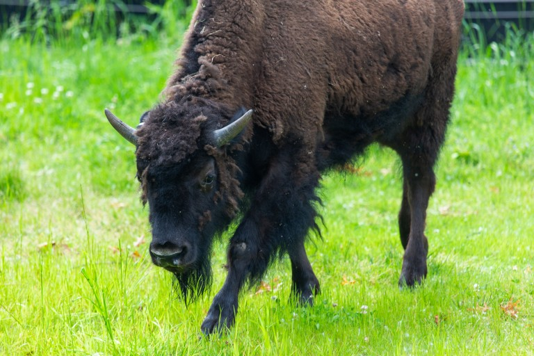 American bison Gally at the Smithsonian's National Zoo