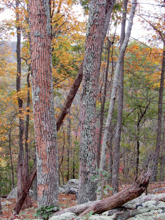 A stand of ash trees infested with emerald ash borer along the Appalachian Trail. The bark can be seen peeling from the trees.