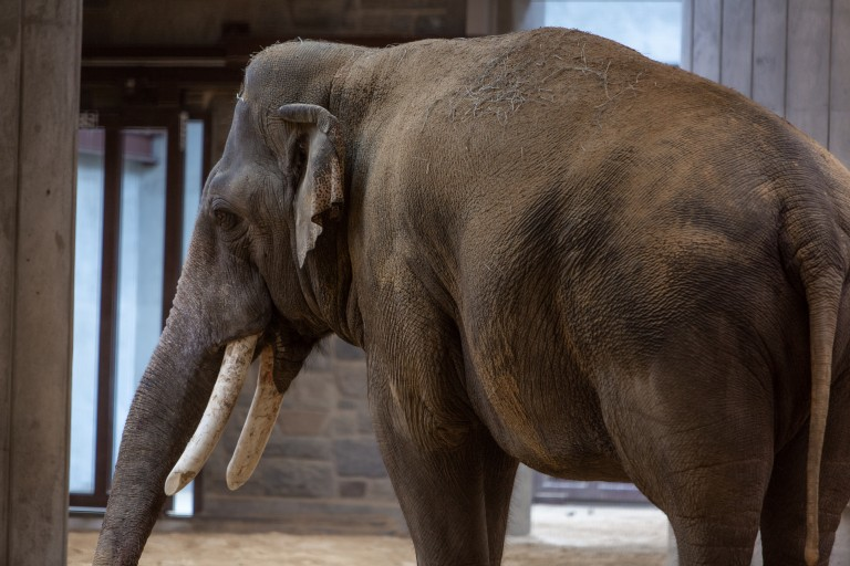 A large Asian elephant, Spike, with tusks and gray skin stands in the Smithsonian's National Zoo's Elephant Community Center
