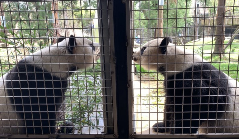 two giant pandas sniff at each other through an enclosure