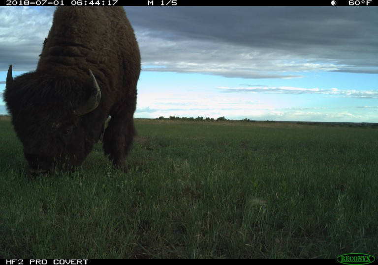 A camera trap photo of an American bison with a thick coat and horns grazes in grass
