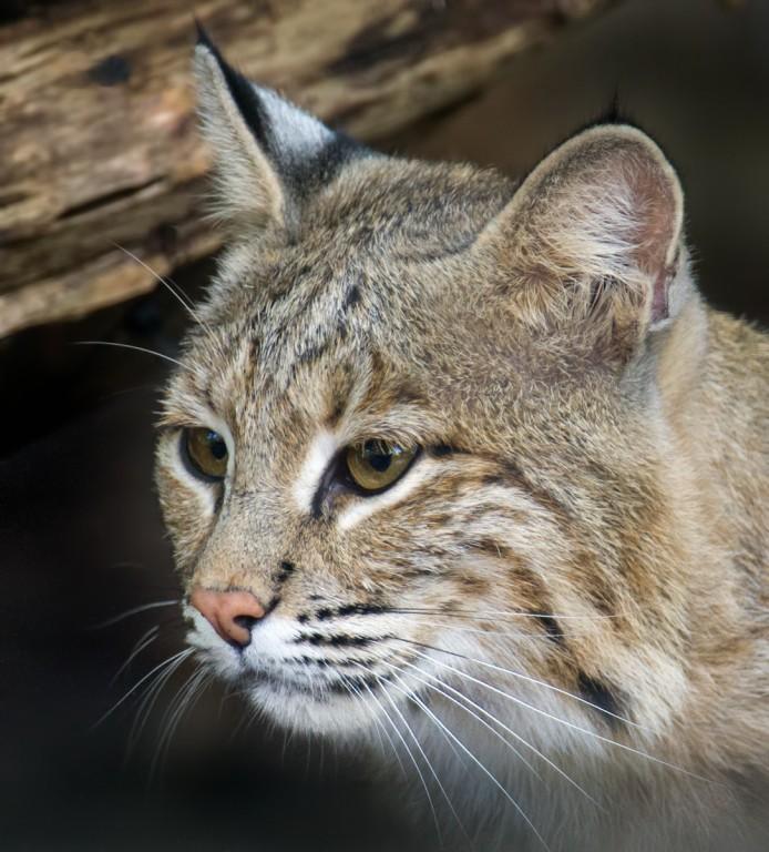 Female bobcat