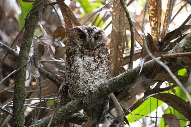 Bornean Rajah scops owl roosting in a tree.