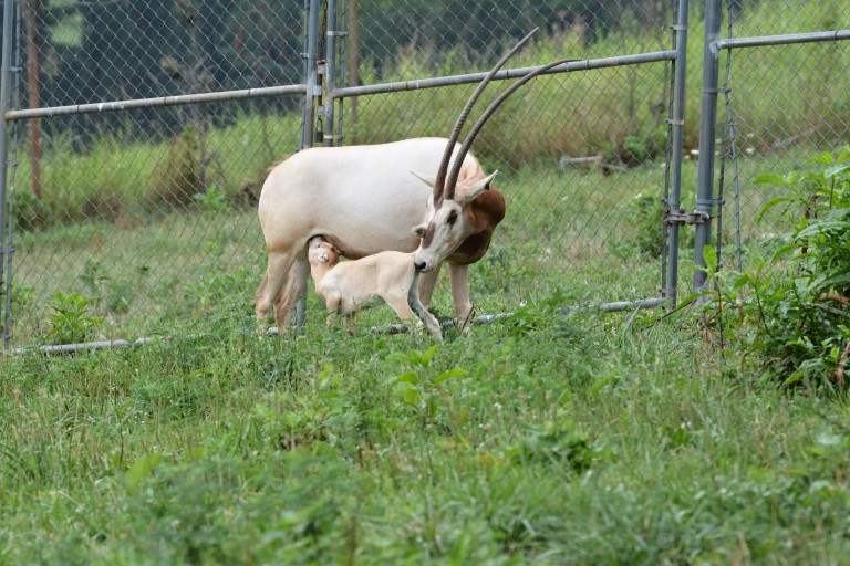 Scimitar-horned oryx calf nurses from its mother.