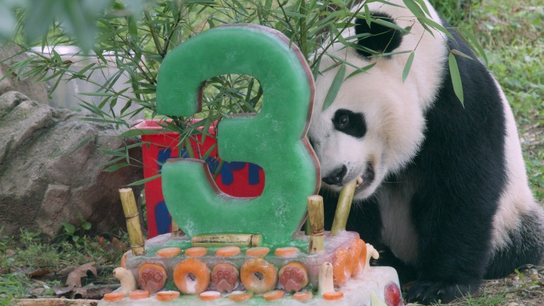Giant panda Bei Bei eats a piece of bamboo from a decorative ice cake he received for his third birthday at the Smithsonian's National Zoo