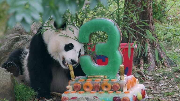 Giant panda Bei Bei eats a piece of bamboo from a decorative ice cake he received for his third birthday.