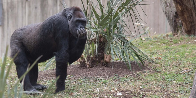 Western lowland gorilla Calaya in the yard.