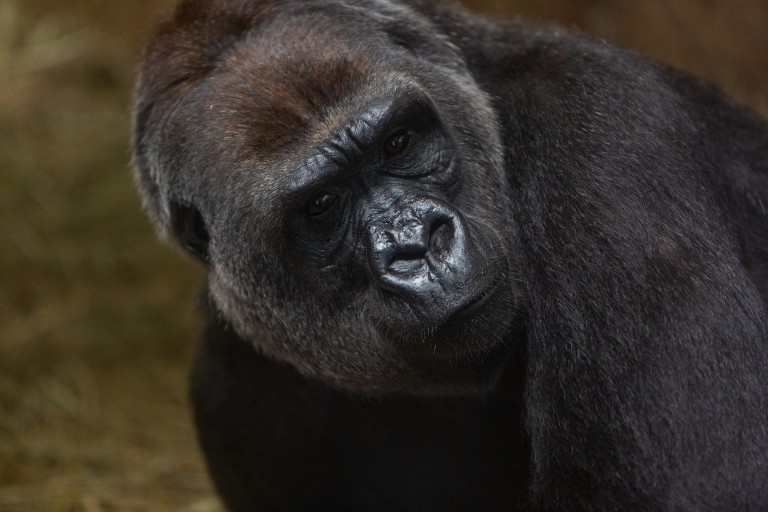 A close-up photo of western lowland gorilla Calaya