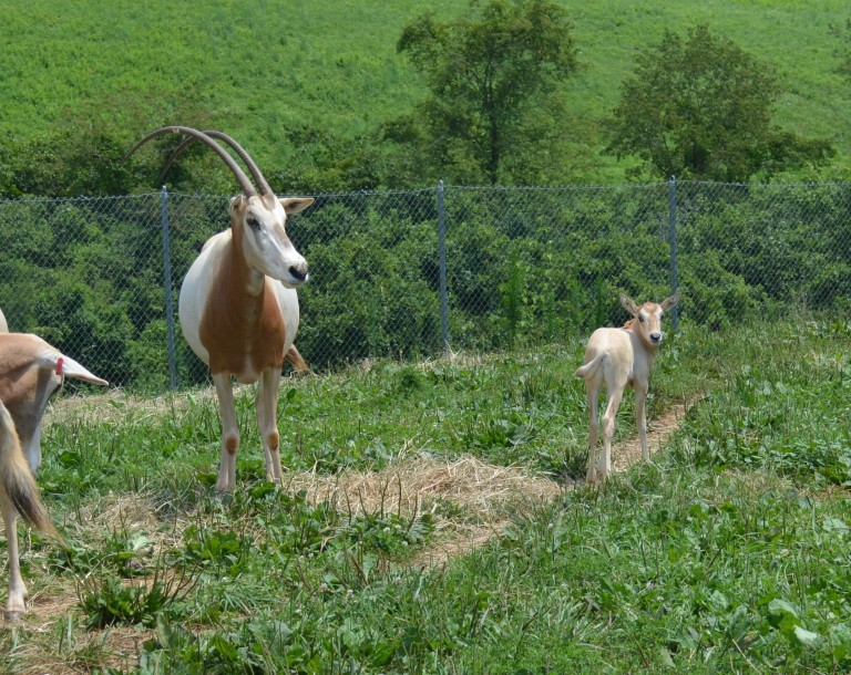 A newborn scimitar-horned oryx calf with tan skin and large ears rests on a grassy hill near an adult oryx with long, curved antlers.