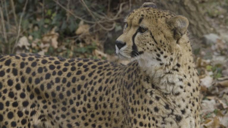 A male cheetah