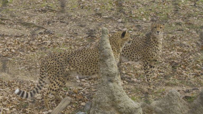 Two cheetahs standing in the grass behind a fake termite mound